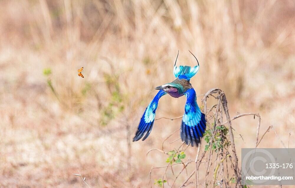 Lilac-breasted roller (Coracias caudatus), chasing butterfly, South Luangwa National Park, Zambia, Africa
