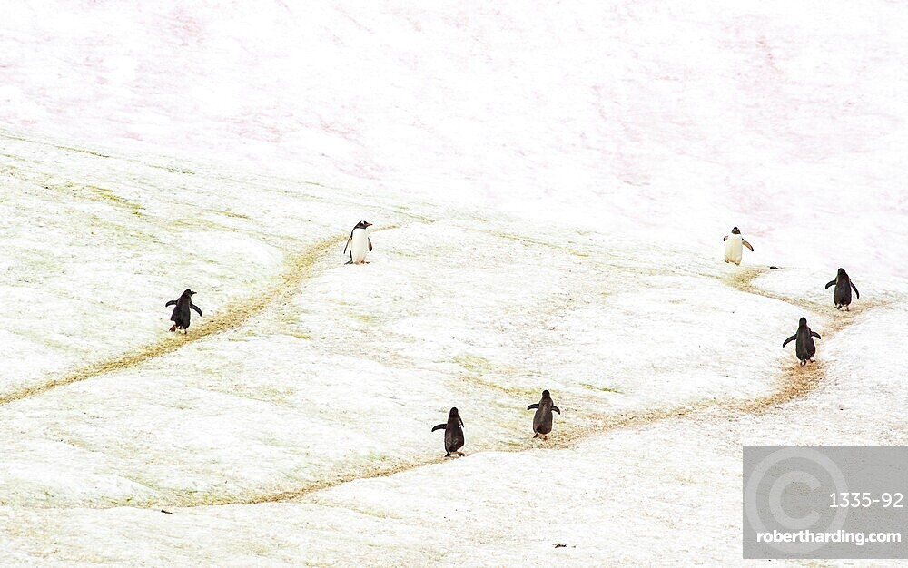 Gentoo penguins marching on trails through the ice, Antarctica, Polar Regions