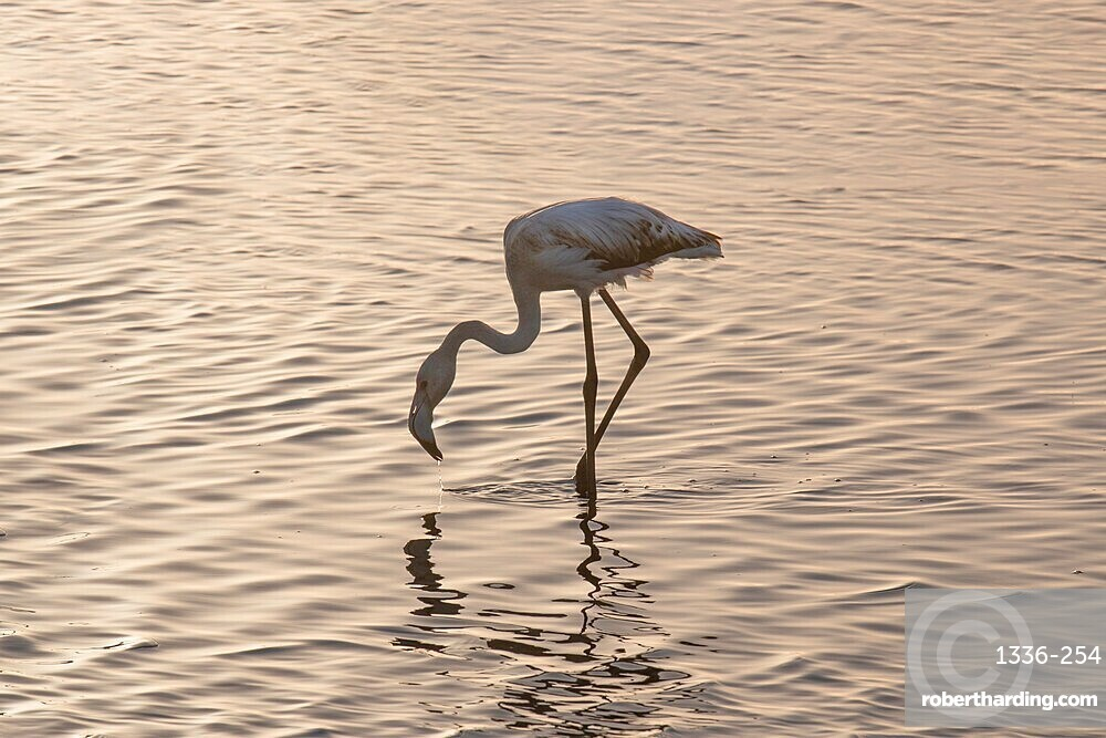 Flamingo in the water, Walvis Bay, Namibia, Africa