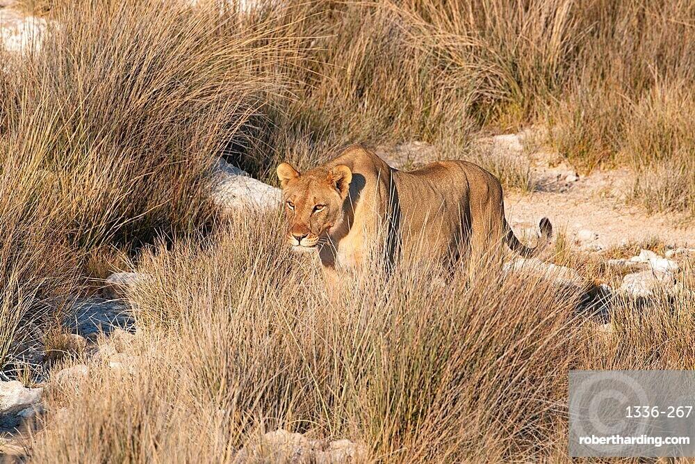 Lioness (Panthera leo) standing in the savannah, Etosha National Park, Namibia, Africa