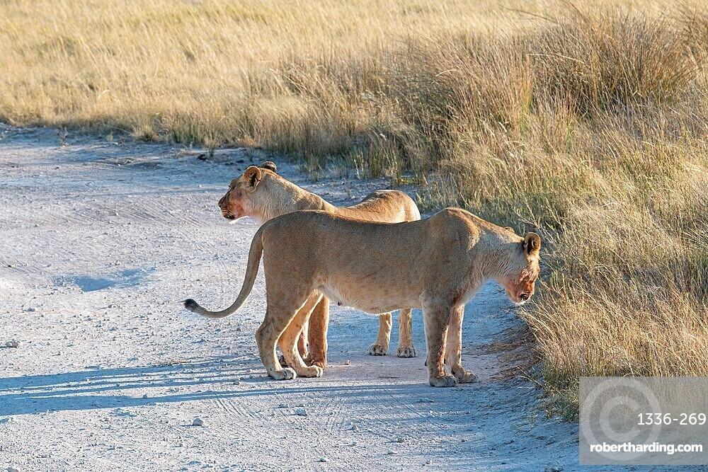 Two lionesses (Panthera leo) walking in the savannah, Etosha National Park, Namibia, Africa
