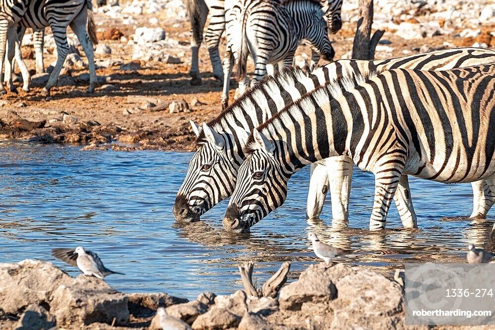 Zebras drinking in a pond, Etosha National Park, Namibia, Africa