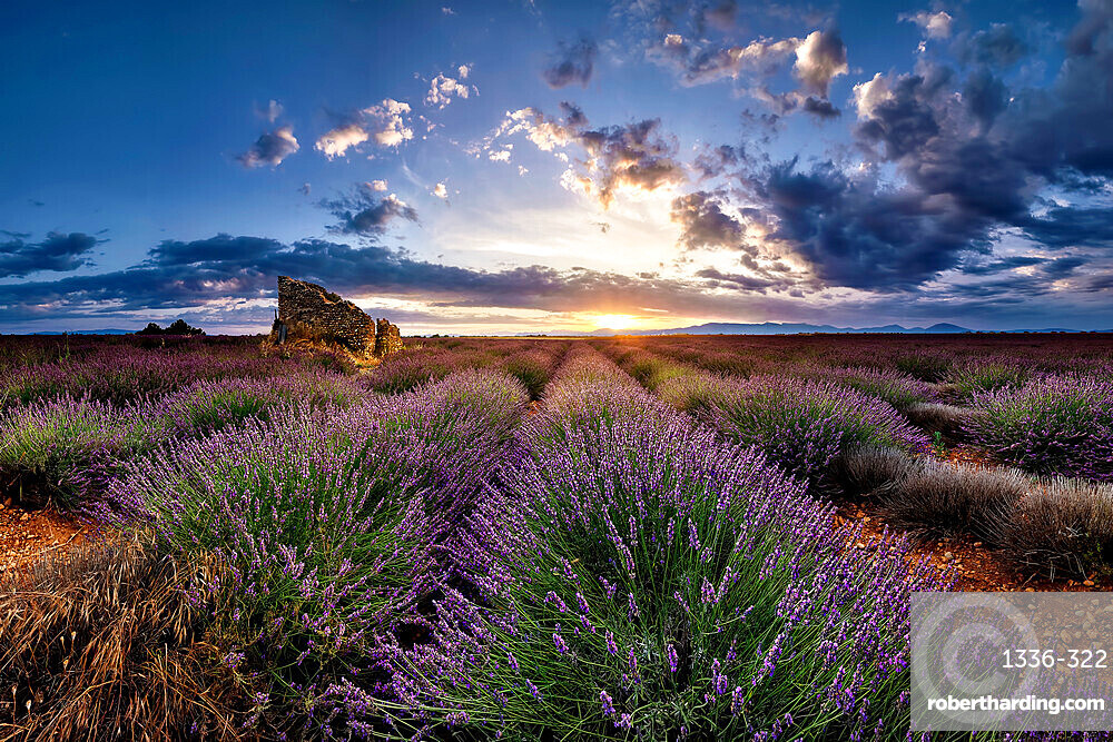 Ruins in a lavender field at sunrise in Provence, France, Europe