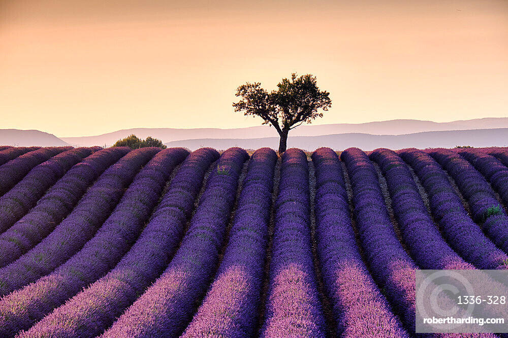 Lonely tree on top of a lavender field at sunset, Valensole, Provence, France, Europe
