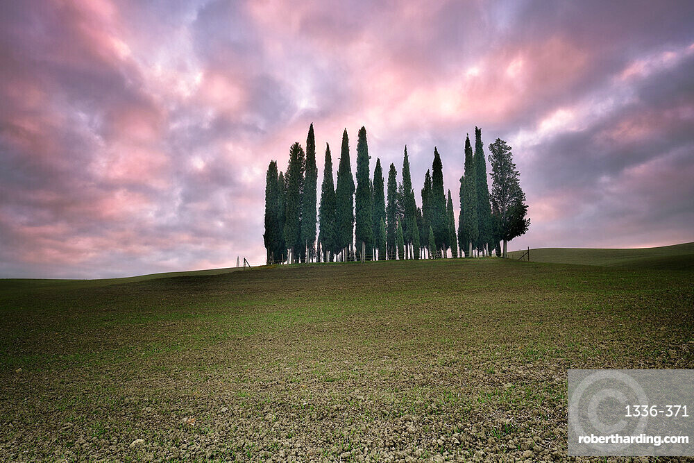 Torrenieri cypresses in Val d'Orcia with a pink sunrise, Val d'Orcia, UNESCO World Heritage Site, Tuscany, Italy, Europe