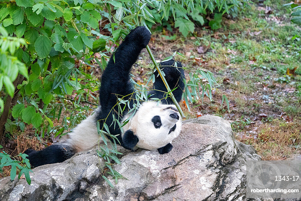 Bei Bei the Giant Panda eats bamboo in his enclosure at the Smithsonian National Zoo in Washington DC, United States of America, North America