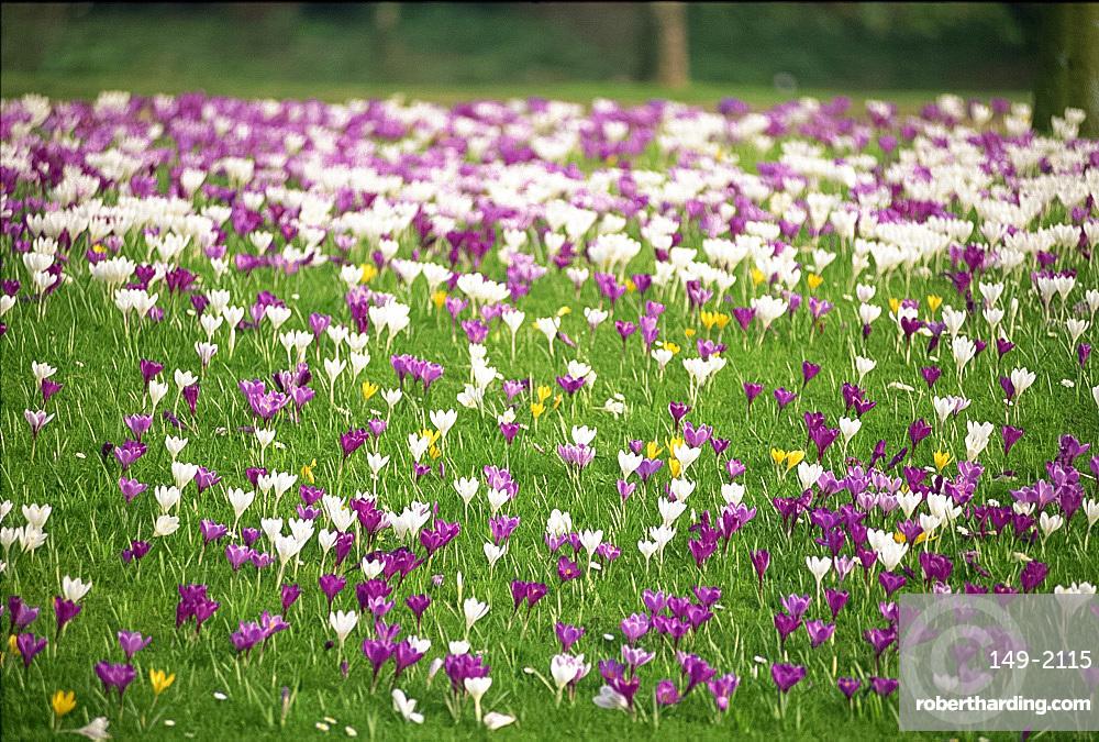 Carpet of crocuses in spring in England, United Kingdom, Europe