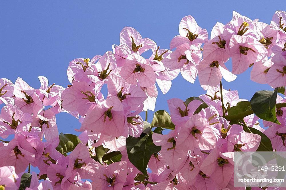 Pink bougainvillea flowers against a blue sky, Paxos, Ionian Islands, Greece, Europe