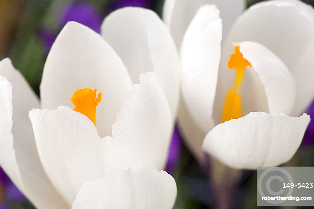 A close-up of white crocuses with yellow centre in March, United Kingdom, Europe