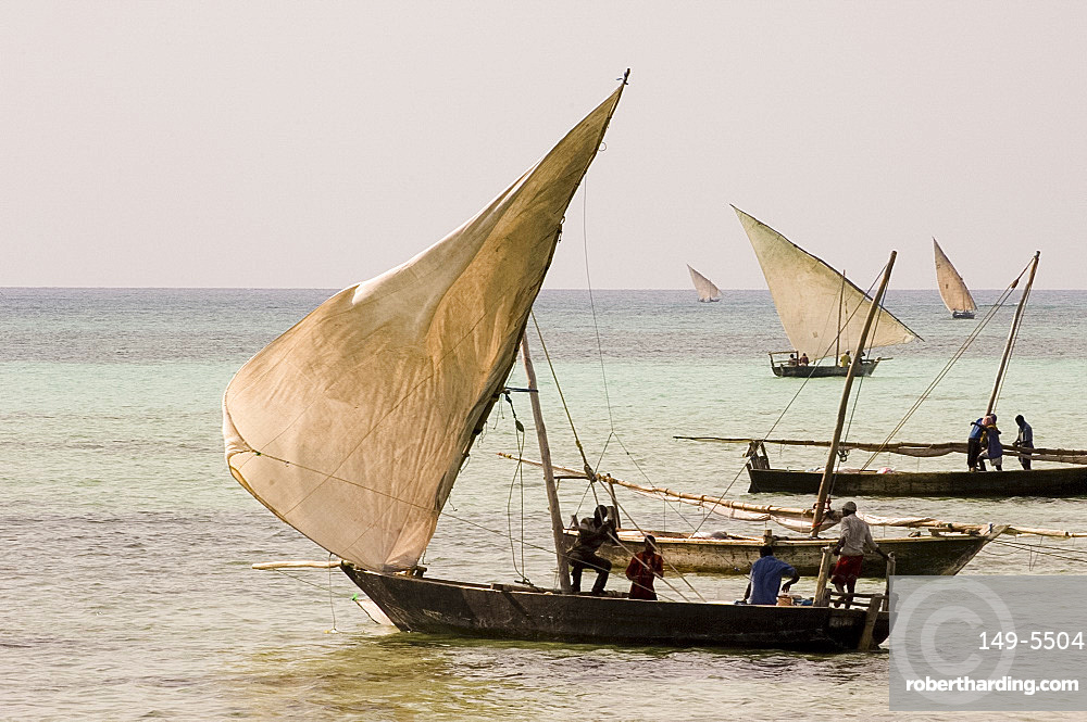 Fishing dhows setting sail in the afternoon from Nungwi, Zanzibar, Tanzania, East Africa, Africa
