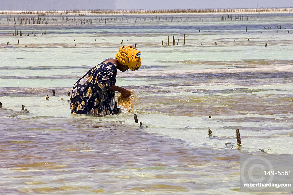 A woman harvesting seaweed at one of the underwater farms, Paje, Zanzibar, Tanzania, East Africa, Africa