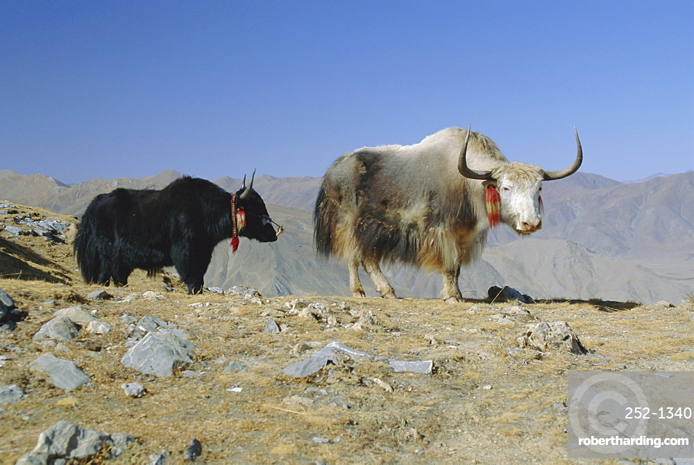 Two yaks in the mountains, Tibet, China