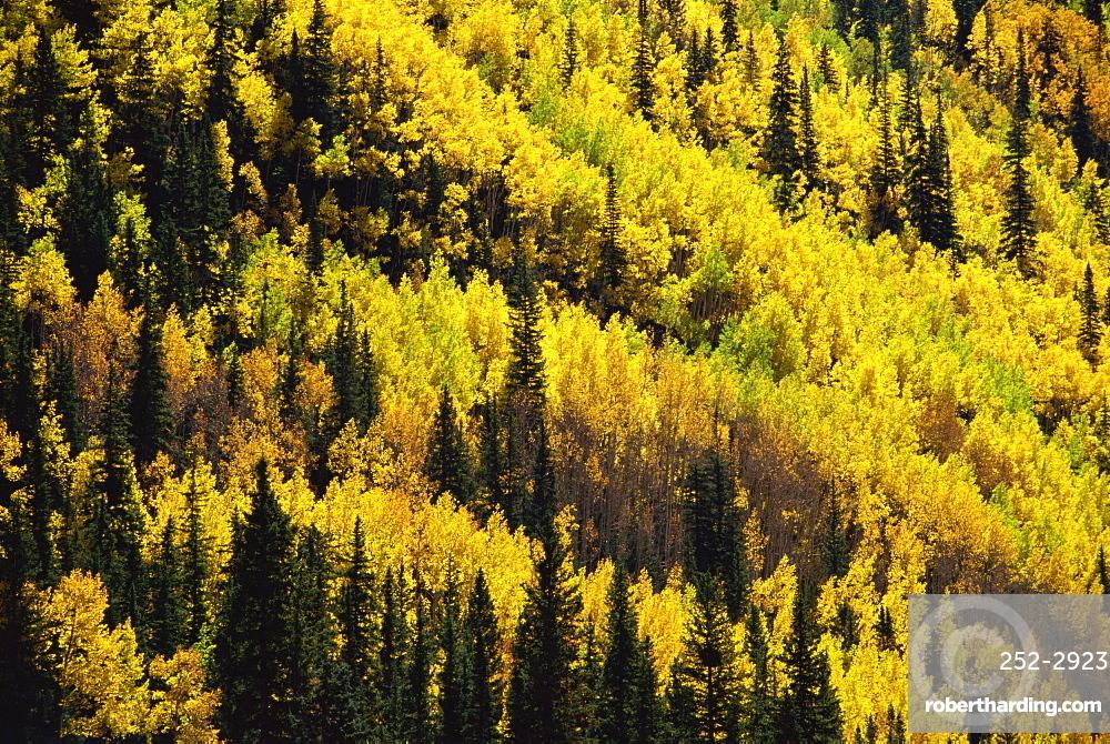 Fall foliage, near Silverton, Colorado, United States of America, North America