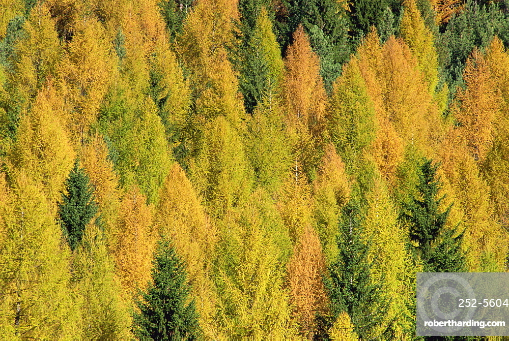 Trees in autumn colours in the Dolomites in Trentino Alto Adige, Italy, Europe