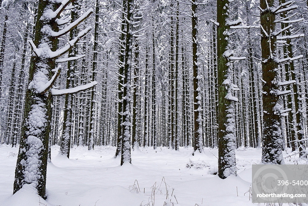 Forest in winter, Erbeskopf Mountain, 816m, Saar-Hunsrueck Nature Park, Rhineland-Palatinate, Germany, Europe