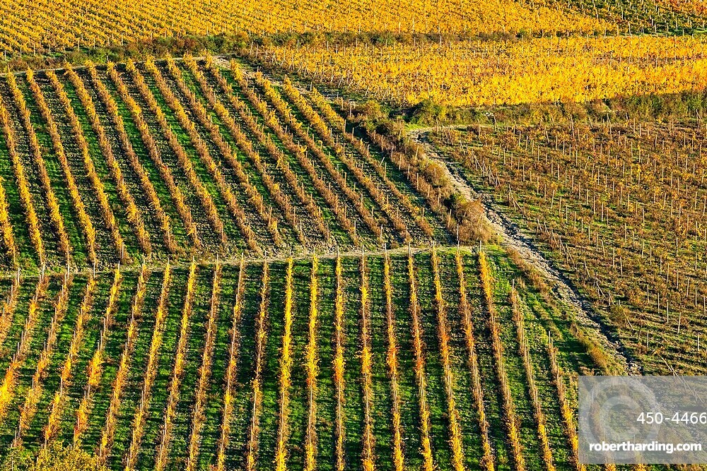 Patterned lines of vineyards in Autumnal colours in afternoon light, backed by olive groves, Giobbole, Tuscany, Italy, Europe