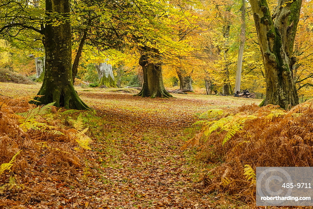 Beech trees and bracken in autumn colour, New Forest National Park, Hampshire, England, United Kingdom, Europe