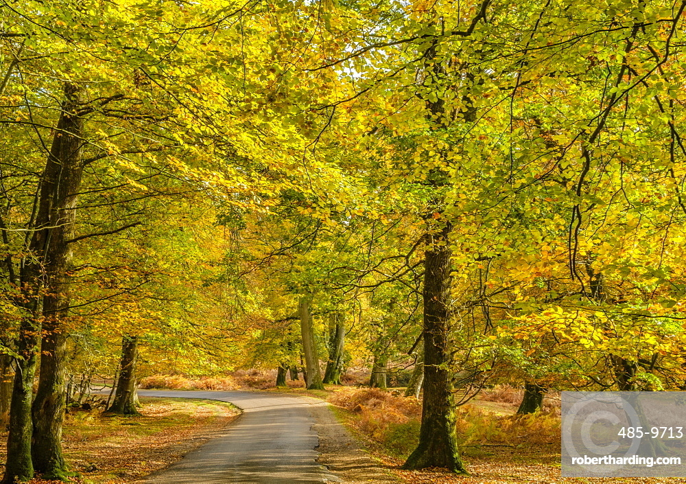 Beech trees and bracken in autumn colour along the Ornamental Drive, New Forest National Park, Hampshire, England, United Kingdom, Europe