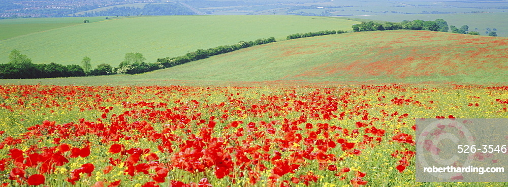 Poppies on the South Downs, Sussex, England, UK, Europe