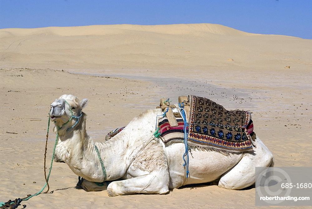 White (Mehari?) dromedary, at the Star Wars set, near Nefta, Tunisia , North Africa, Africa