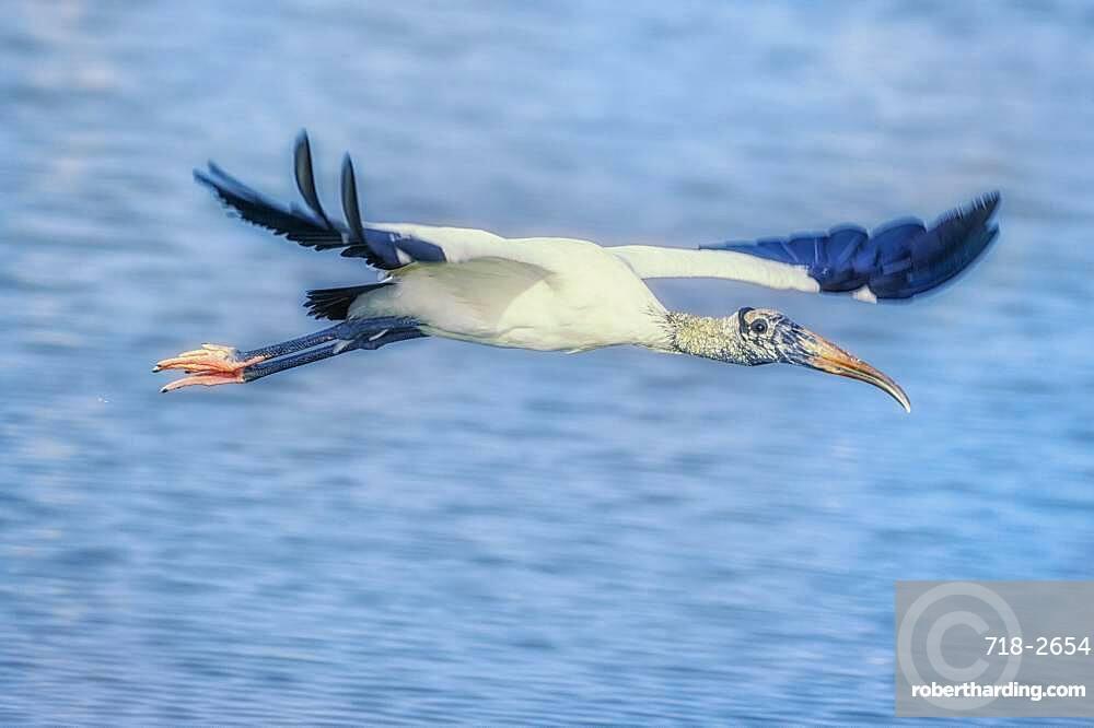 Wood Stork (Mycteria Americana) in flight, Sanibel Island, J.N. Ding Darling National Wildlife Refuge, Florida, United States of America, North America
