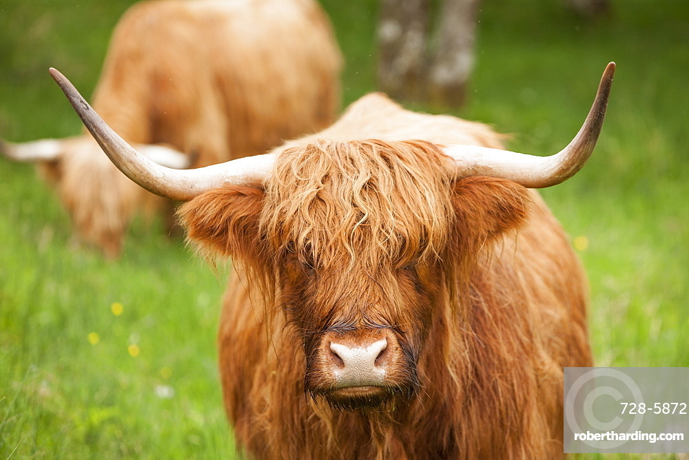 Highland cattle, Scotland, United Kingdom, Europe