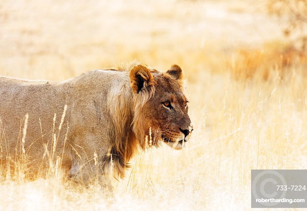 Young lion (Panthera leo), Kgalagadi Transfrontier Park, Kalahari, Northern Cape, South Africa, Africa