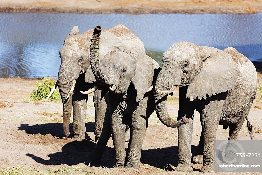 African elephant (Loxodonta Africana), Tembe Elephant Park, Kwazulu-Natal, South Africa, Africa