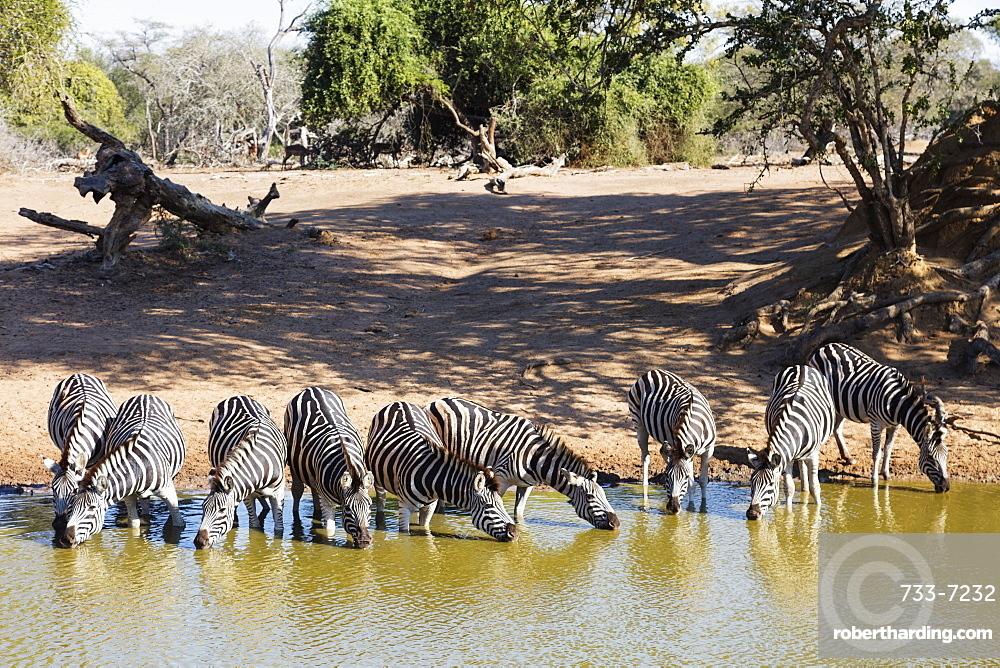 Plains zebra (Equus quagga), Mkhuze Game Reserve, Kwazulu-Natal, South Africa, Africa