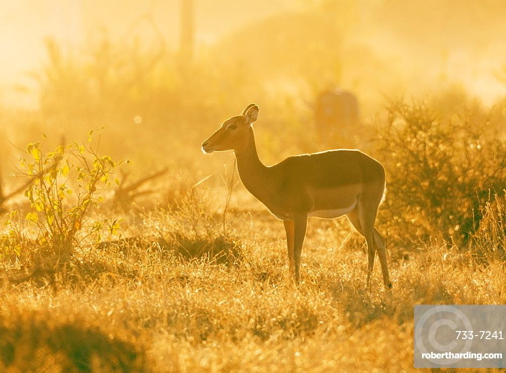 Female impala (Aepyceros melampus), Mapungubwe National Park, UNESCO World Heritage Site, Limpopo, South Africa, Africa