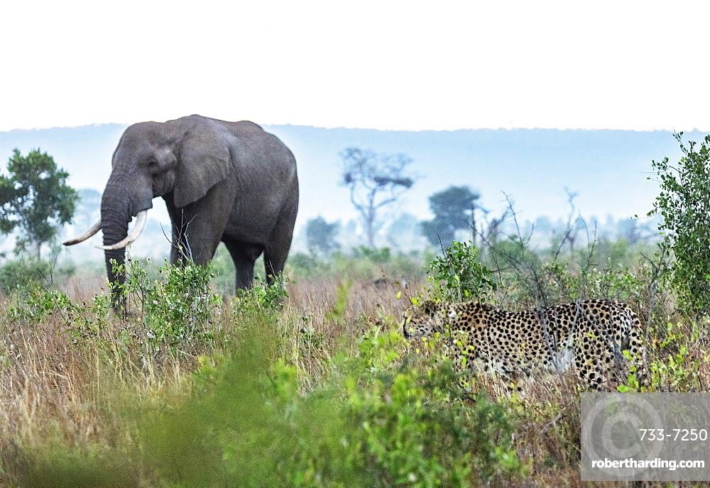 Cheetah (Acinonyx jubatus) and African elephant (Loxodonta Africana), Kruger National Park, South Africa, Africa