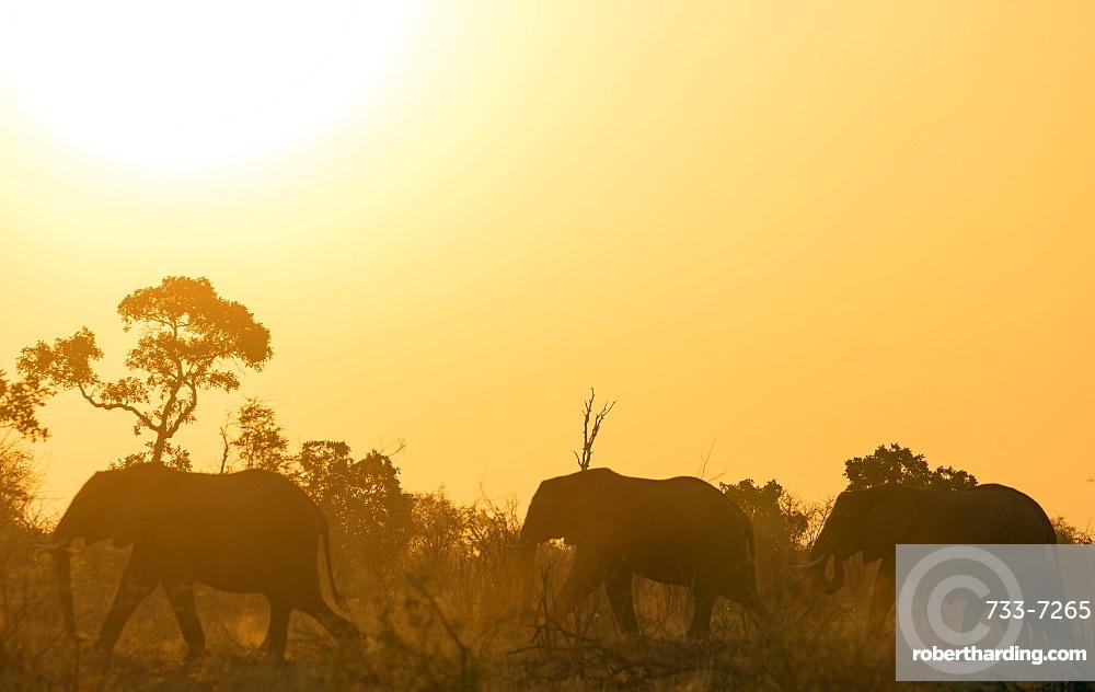 African elephant (Loxodonta Africana) at sunset, Kruger National Park, South Africa, Africa