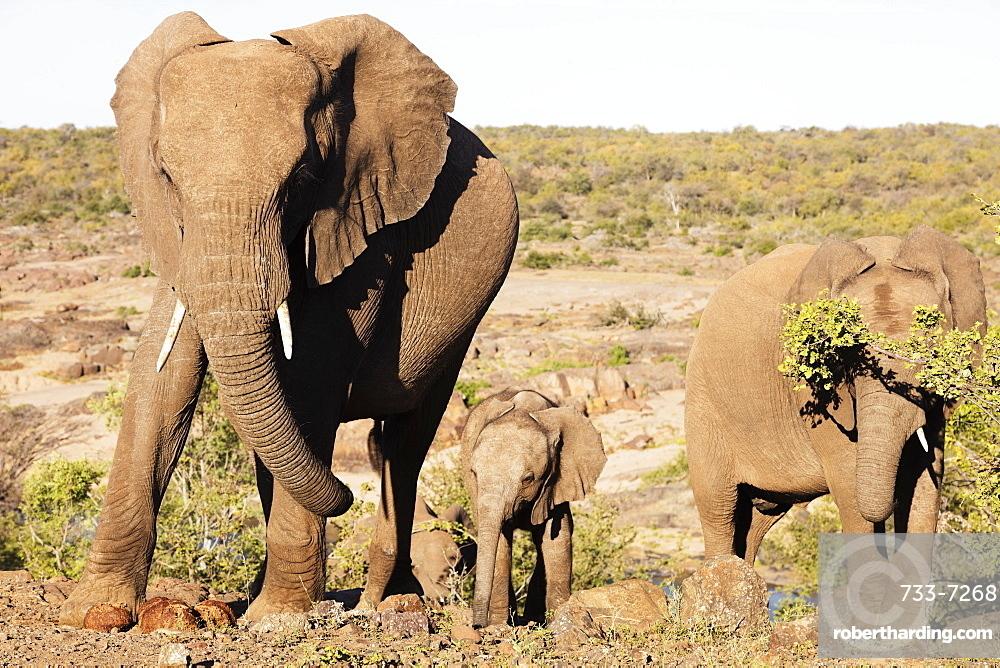 African elephant (Loxodonta Africana), Kruger National Park, South Africa, Africa
