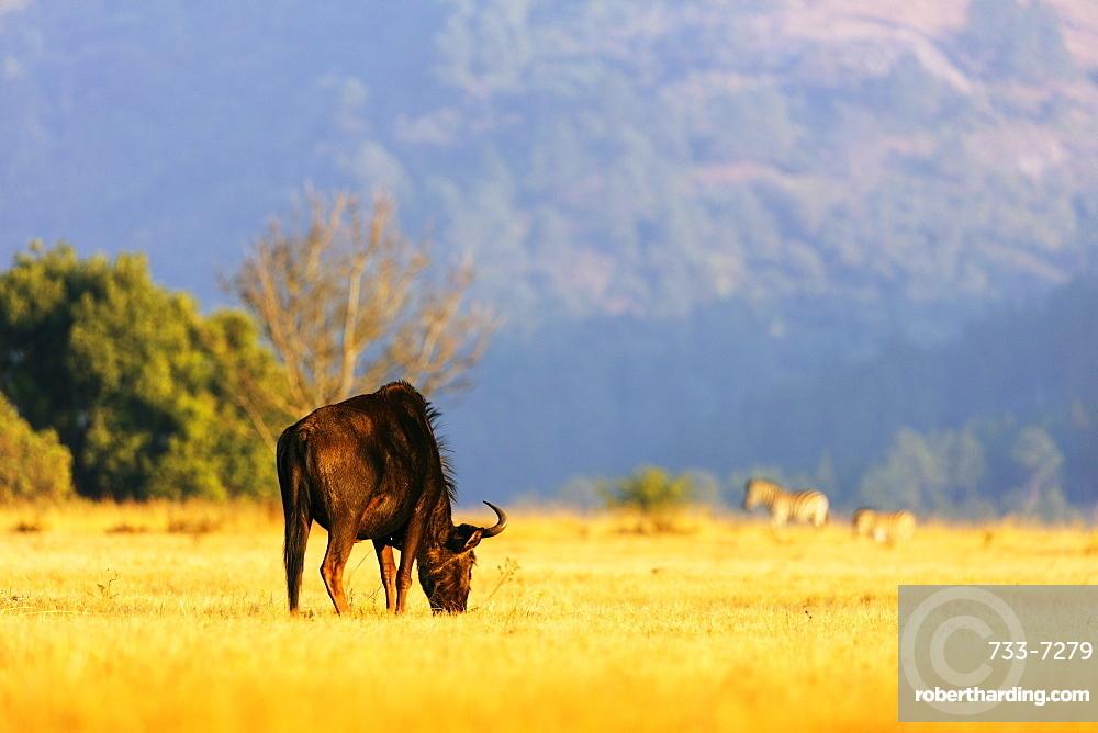 Blue wildebeest (Connochaetes taurinus), Mlilwane Wildlife Sanctuary, Swaziland, Africa