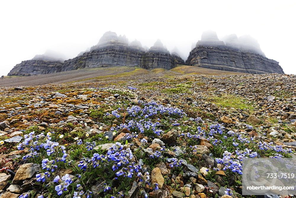 Skansen in Billefjorden, Jacob's ladder flower (Polemonium caeruleum), Spitsbergen, Svalbard, Arctic, Norway, Europe