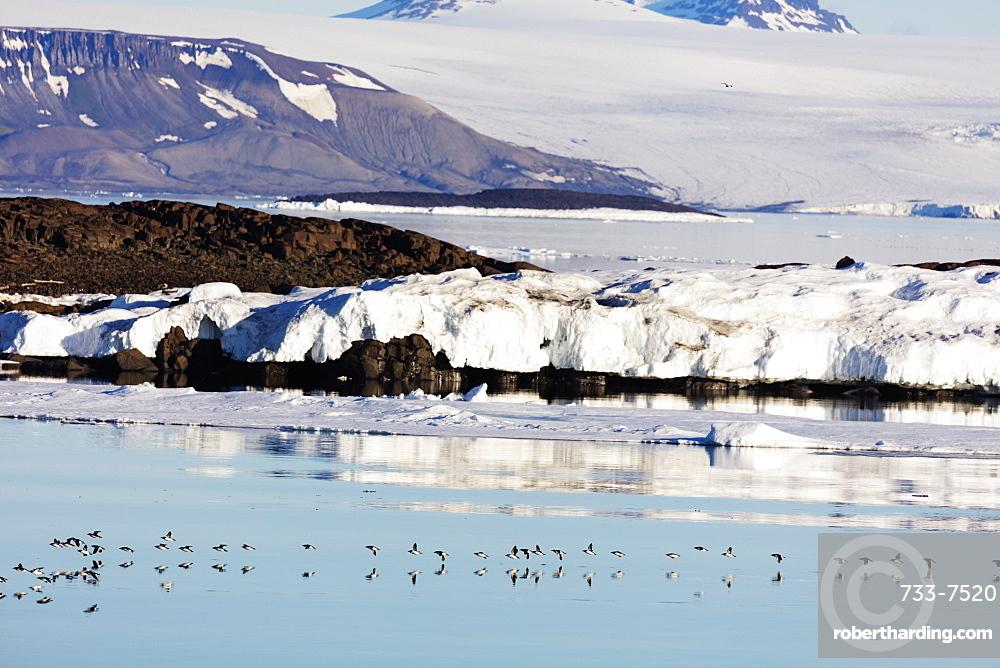 Thick billed murre (Bronnichs guillemot) (Uria Iomvia) in flight, Spitsbergen, Svalbard, Arctic, Norway, Europe