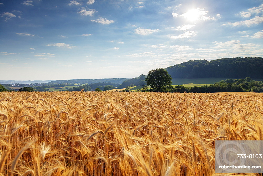 Wheat field, Czech Republic, Europe