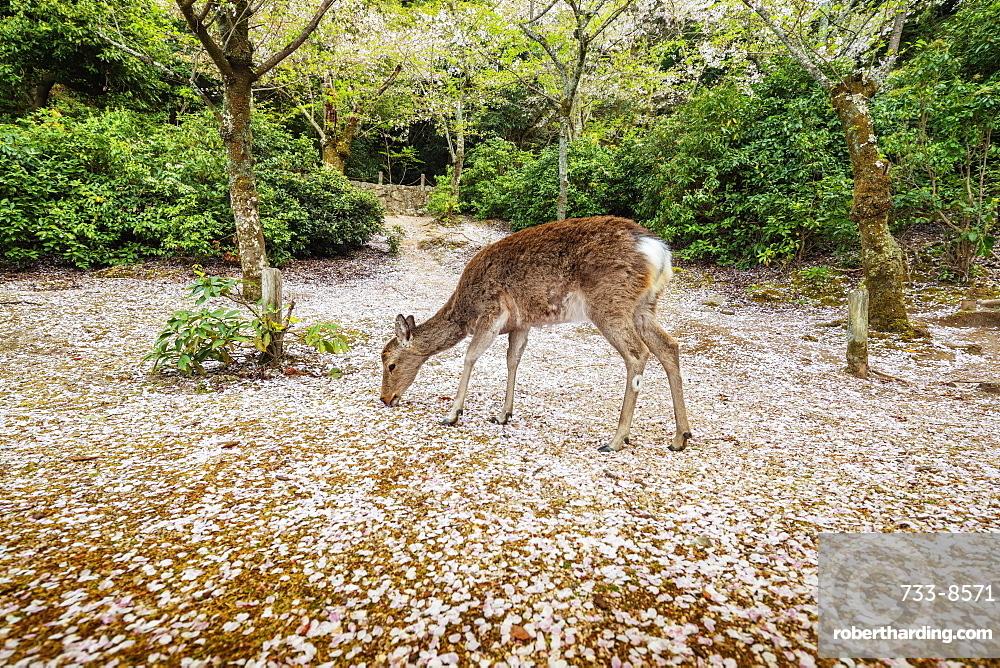 Wild deer and cherry blossom, Miyajima Island, Hiroshima Prefecture, Honshu, Japan, Asia