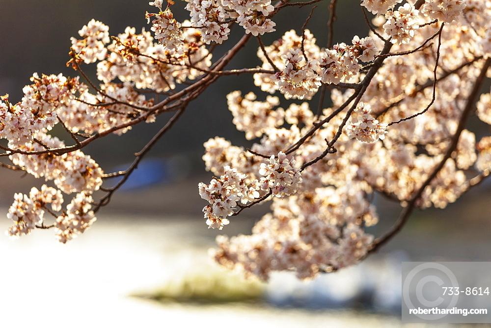 Asia, Japan, Honshu, Yamanashi prefecture, cherry blossom