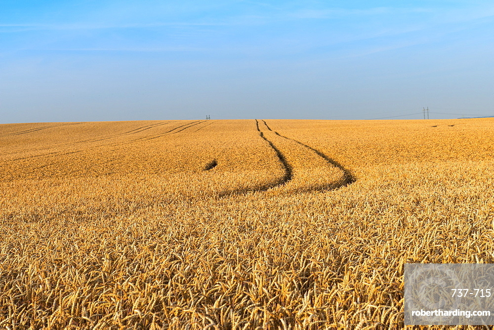 Wheat (Triticum aestivum) field just before harvest, Prezletice, Central Bohemia, Czechia
