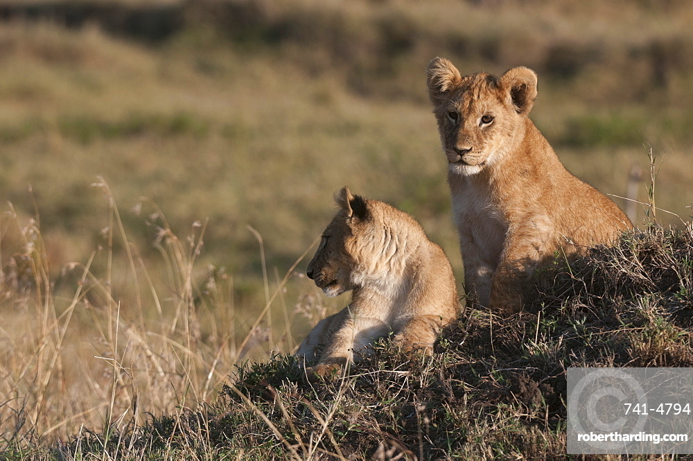 Lion (Panthera leo), Masai Mara, Kenya, East Africa, Africa