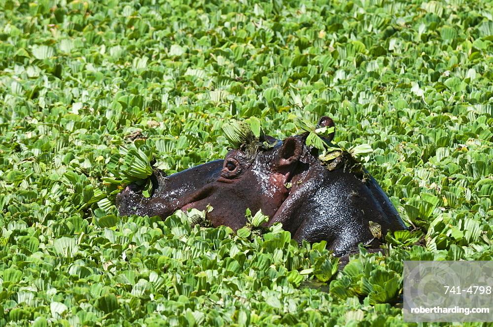 Hippopotamus (Hippopotamus amphibius), Masai Mara, Kenya, East Africa, Africa