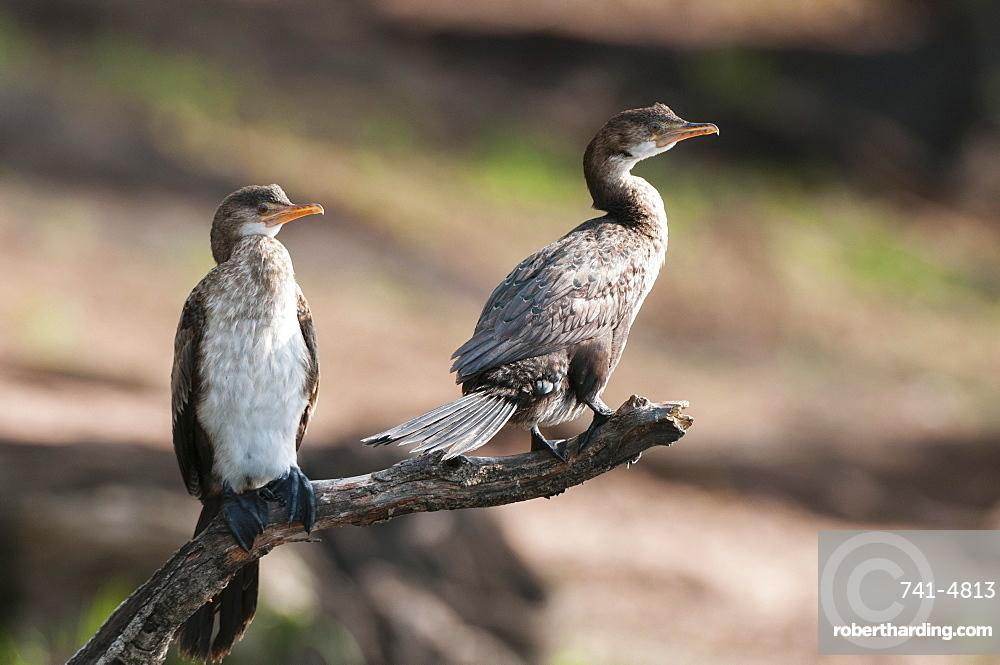 White-breasted cormorant (Phalacrocorax lucidus), Chobe National Park, Botswana, Africa