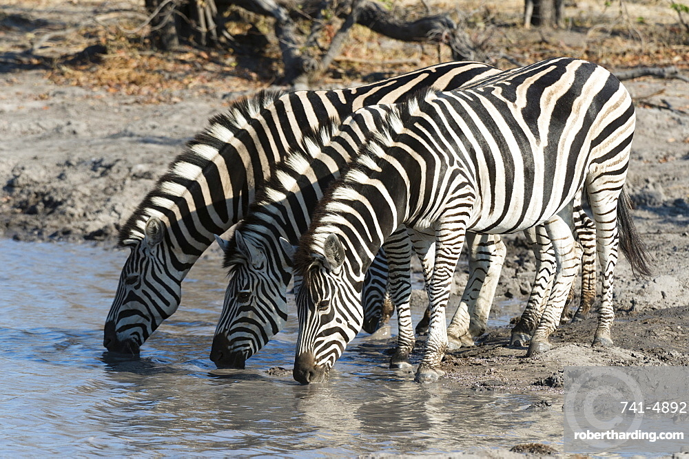 Burchell's zebras (Equus burchelli), Khwai Concession, Okavango Delta, Botswana, Africa