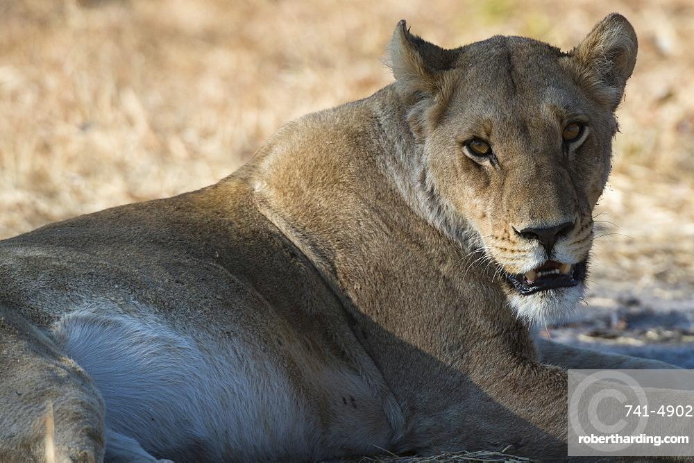 Lioness (Panthera leo), Khwai Concession, Okavango Delta, Botswana, Africa