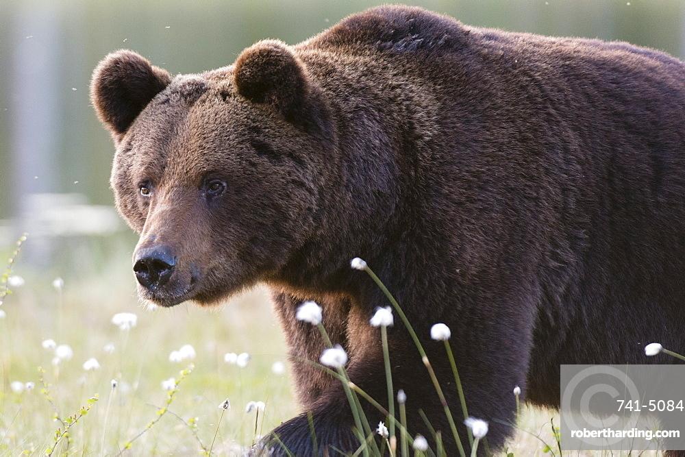European brown bear (Ursus arctos), Kuhmo, Finland, Scandinavia, Europe