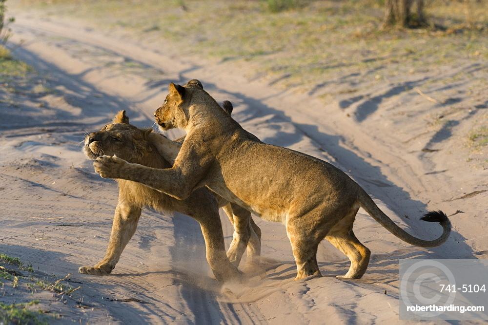Two lionesses (Panthera leo) playing, Savuti marsh, Chobe National Park, Botswana, Africa