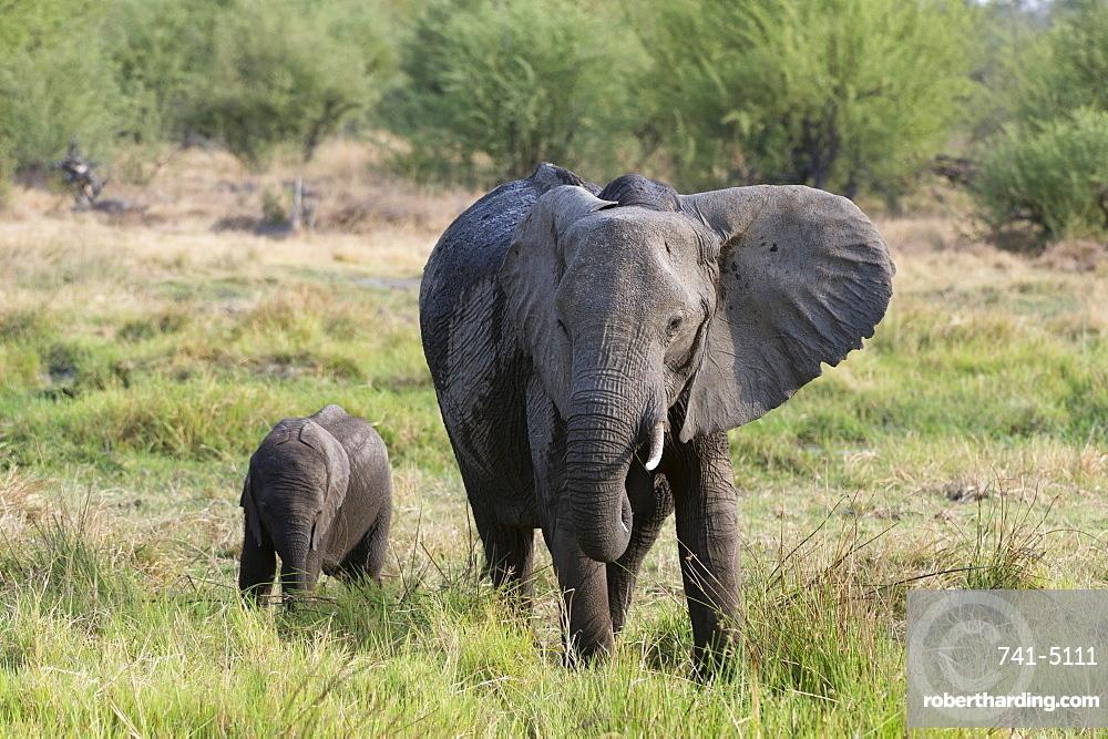An African elephant (Loxodonta africana) with its calf, Khwai Concession, Okavango Delta, Botswana, Africa