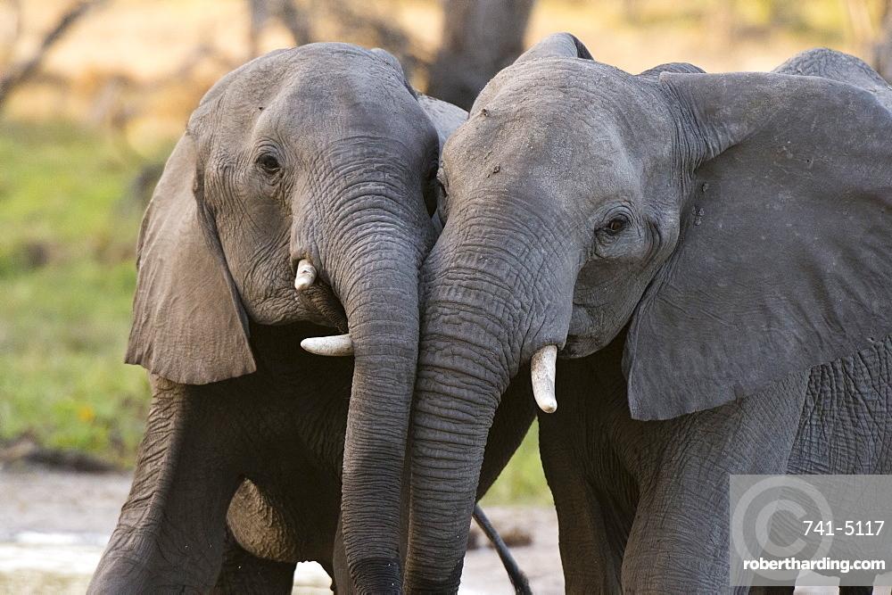 Two African elephants (Loxodonta africana) sparring, Khwai Concession, Okavango Delta, Botswana, Africa