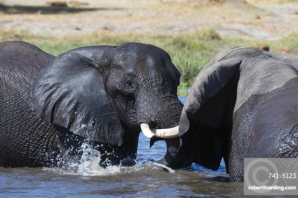 Two African elephants (Loxodonta africana) sparring in the river Khwai, Khwai Concession, Okavango Delta, Botswana, Africa